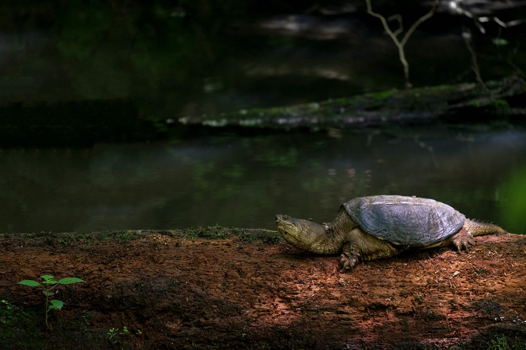 Snapping Turtle at Harmonie State Park