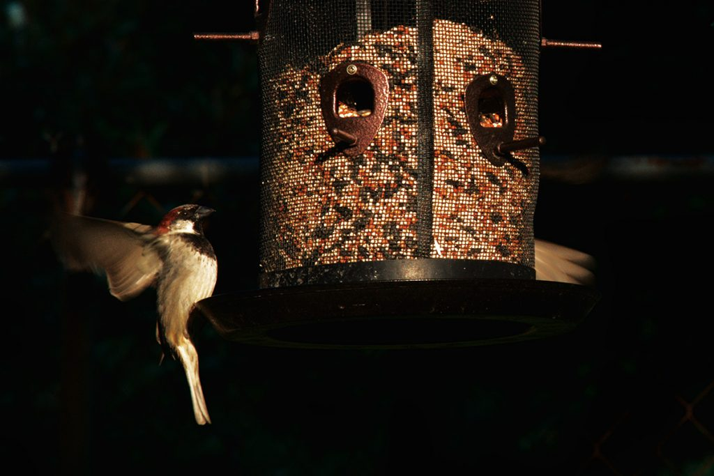 Sparrow feeds at bird feeder in my backyard.